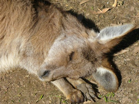 A kangaroo-baby sleeping peacefully in the afternoon sun!