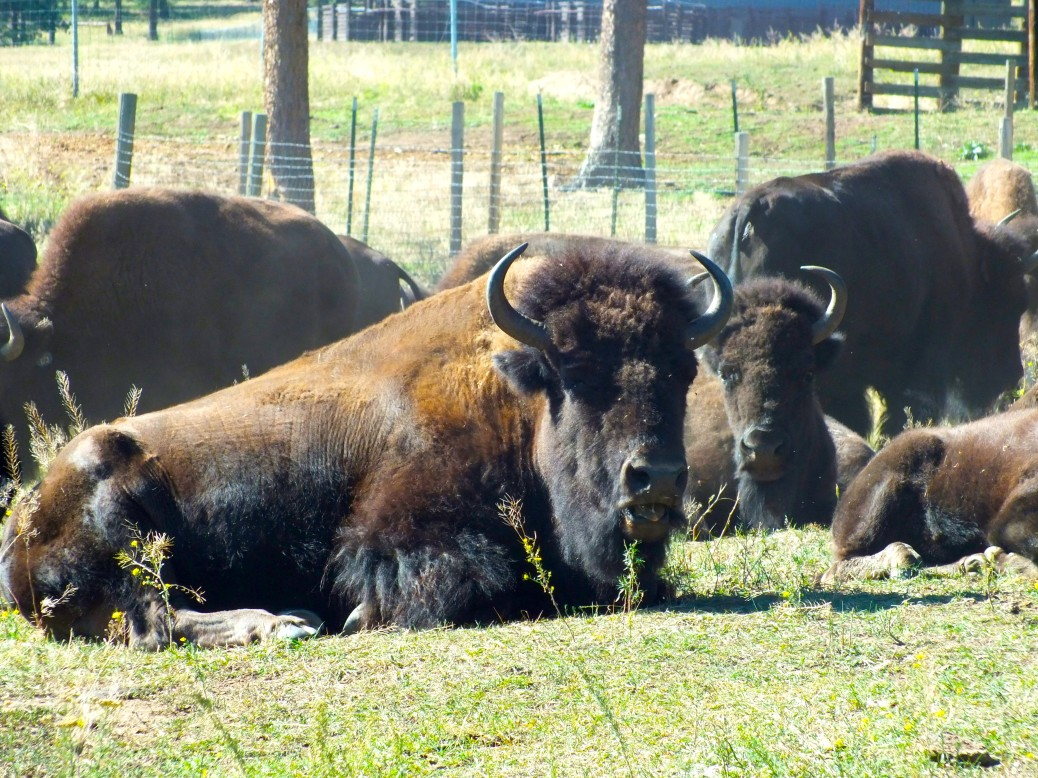 Even though not living free, the buffalos are powerful and wild through their appearance. To actually see these animals was an incredible experience and the whole history of the buffalos ran through my head when observing them.