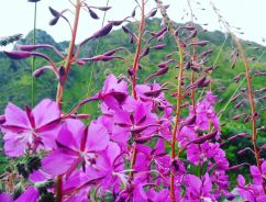 "A typical flower in the summer named ""Geitrams"" (am. fireweed)"